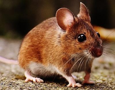 Nahrungsmittel Maus
